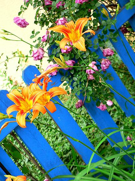Garden day lillies