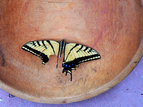 Butterfly in bowl