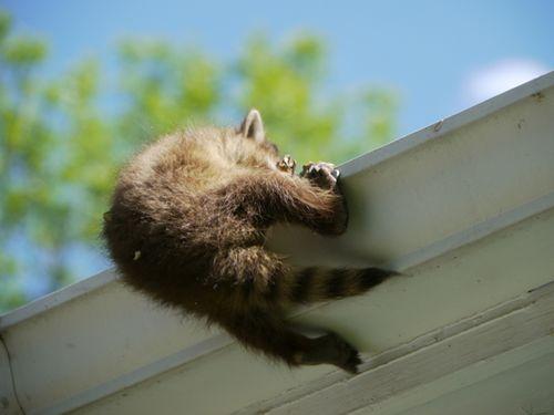 Raccoon6