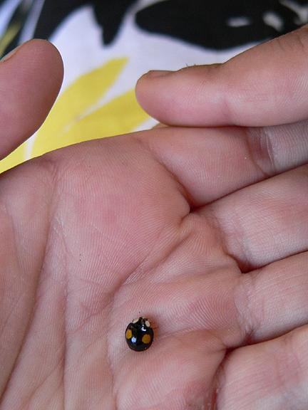 BeetlesTwiceStabbed