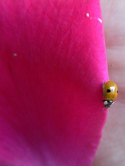 BeetlesRare