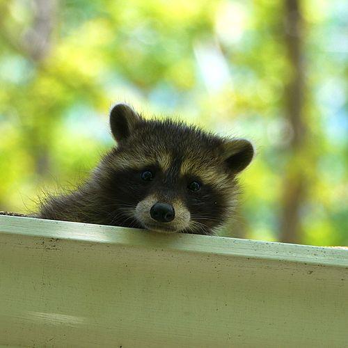 Raccoon23