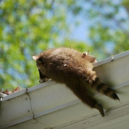 Raccoon7