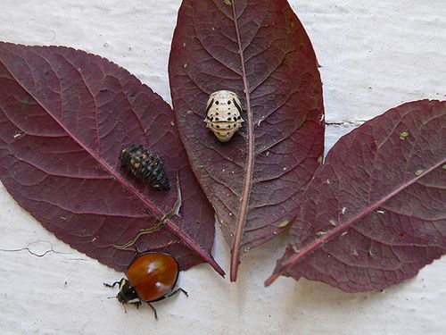 Beetles3Stages