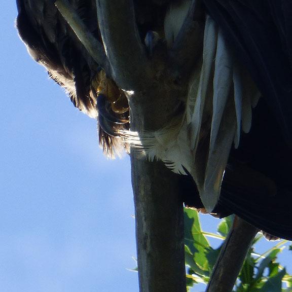 EagleTalon
