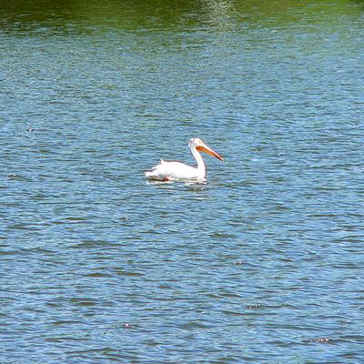 G_pelican