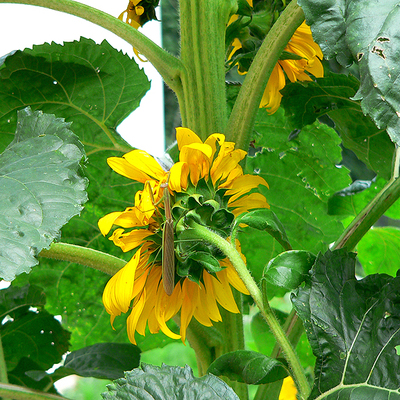 Mantur_on_the_sunflower