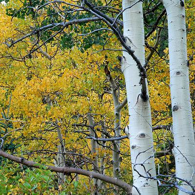 Aspen_leaves_2