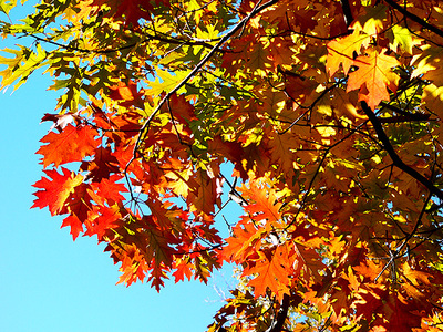 Orange_leaves_and_blue_sky