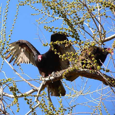 Vultures4