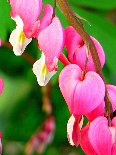 Bleeding_heart_detail
