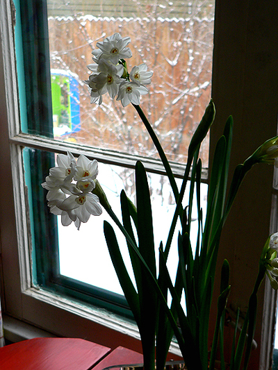 Paper_whites_in_window